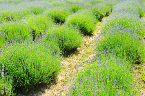 Lavender Field Close-up