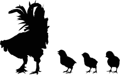 three newborn chickens and rooster silhouettes on white