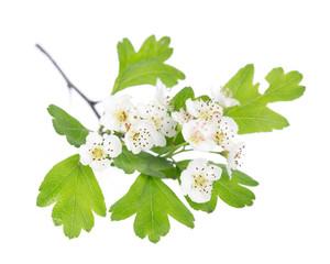 Weißdorn (crataegus monogyna) Blüten und Blätter auf weiß