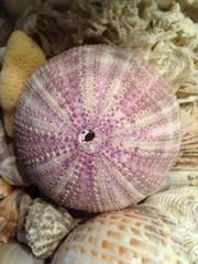 riccio di mare rosa e viola