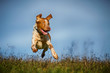 Jagdhundmischling springt über die Wiese