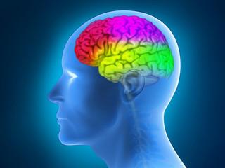 Menschliche Anatomie - Gehirn, Gehirnregionen