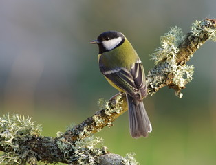 Great tit on a branch,green background