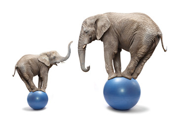 Elephant female and her baby elephant balancing on a blue balls.