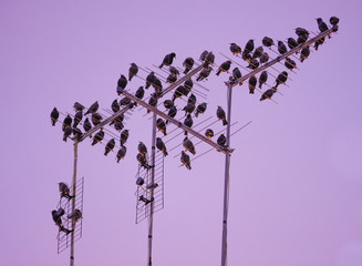 Starling bird flock