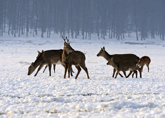 A herd of spotted deer in winter