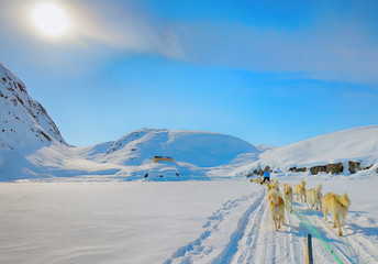 dog sledging in spring time in greenland