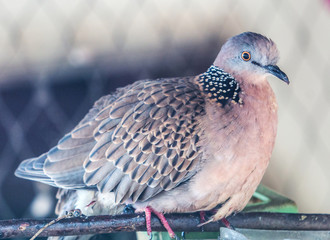 A domesticated spotted dove