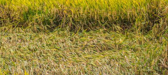 Rice field in rural Malaysia