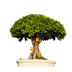 Bonsai tree isolated on white