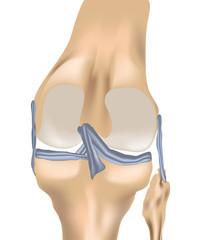 Knee Joint with Liagments