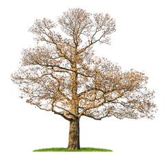 freigestellter Kastanienbaum im Winter