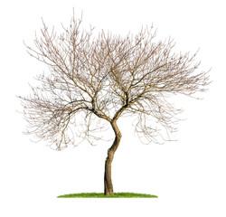 freigestellter Mandelbaum im Winter