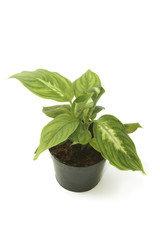 Dieffenbachia ,window plant