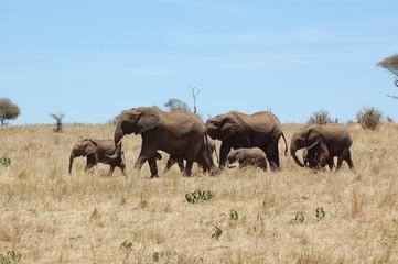 Eléphants : parc national de Tarangire
