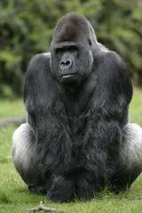 Western lowland gorilla, Gorilla gorilla
