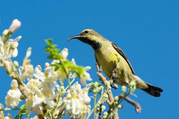 Female Beautiful Sunbird with Moringa Blossoms