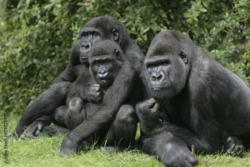 Spoed canvasdoek 2cm dik Aap Western lowland gorilla, Gorilla gorilla