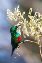 Male Beautiful Sunbird with Moringa Blossoms