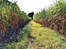sugar cane field separated by grass road