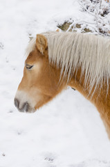 beautiful white horse head closeup on snow