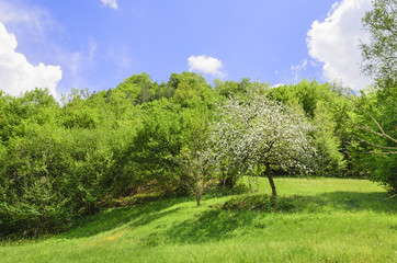 Apple tree in spring with white blossoms