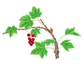Currant twig with red berries