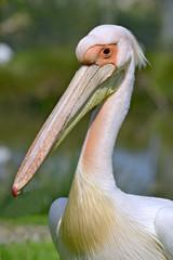 Portrait of white pelican (Pelecanus onocrotalus)