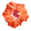 Orange hibiscus simple corrugated