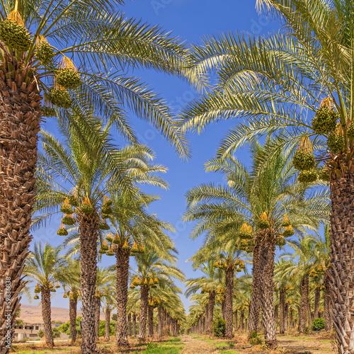 Plexiglas Palm boom Date palm trees