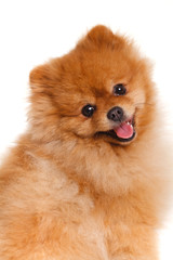 spitz, Pomeranian dog on white background, studio shot