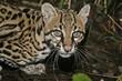 Ocelot, Leopardus pardalis