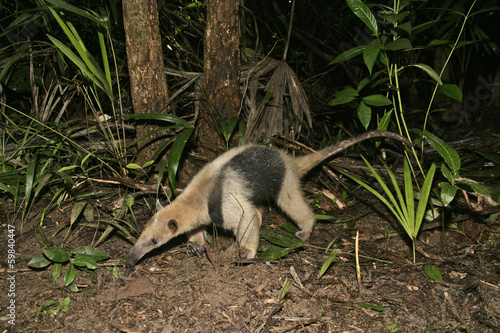 Northern tamandua, Tamandua mexicana