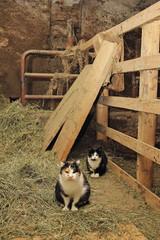 chats de ferme