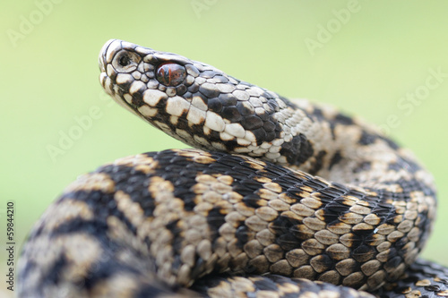 female Vipera berus portrait