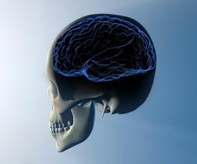 Cervello cranio testa raggi x anatomia