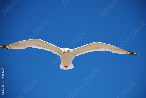Herring Gull in flight, Folkestone
