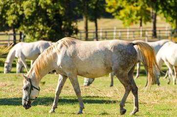 Lipizzan horse (Lipizzaner)
