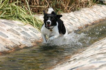 Le Jack Russell et l'eau