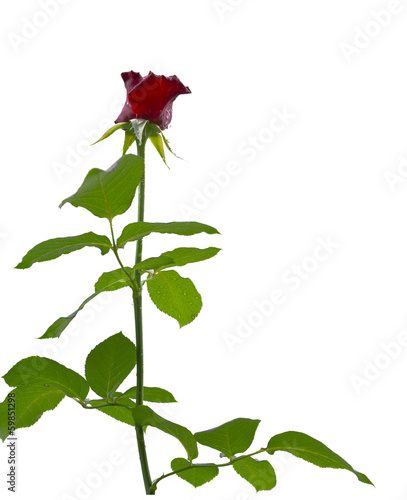 Isolate beautiful rose. white background