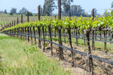 Napa Valley  California Vineyard in Spring