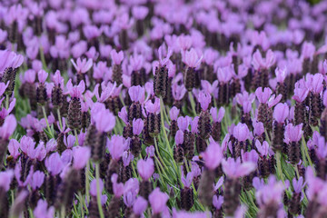Purple Spanish Lavender