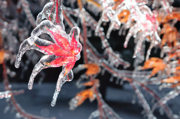 Ice-covered maple leaf