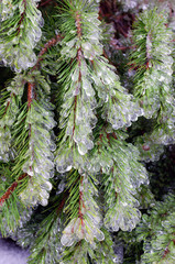 Ice-covered pine tree