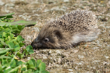 A small hedgehog in a garden