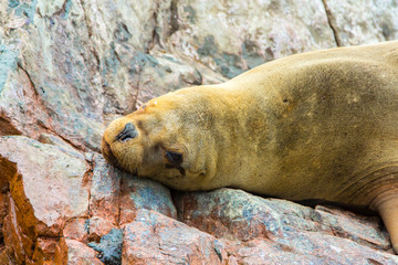South American Sea lion relaxing on rocks of Ballestas Islands