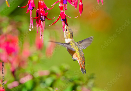 Rufous Hummingbird feeding on Hardy Fuchsia Flowers