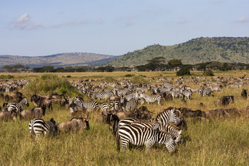 Grazing Zebras And Wildebeests In Serengeti National Park