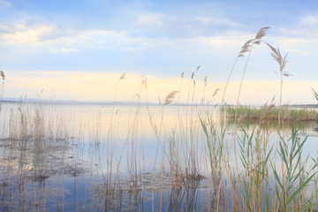 Pretty reeds swaying softly in blue golden Lake