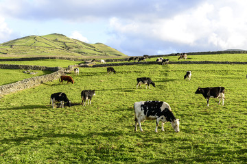 Cows at pasture, Flores island, Azorres archipelago (Portugal)